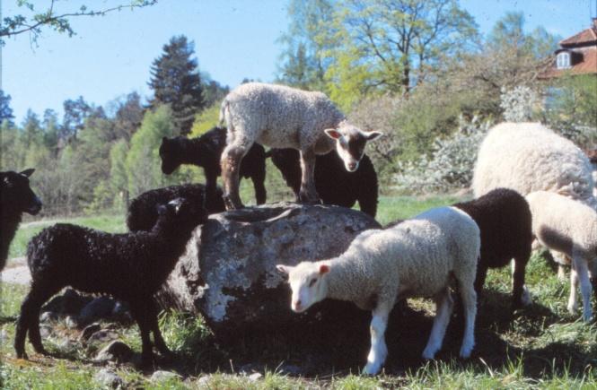 Lamm i hage